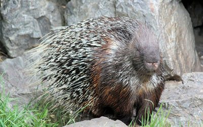 Porcupine Roast